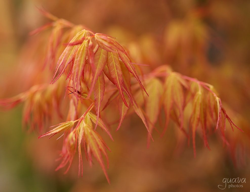 Photo in Nature #springcontest #japanese maple #acer #spring #tree #garden
