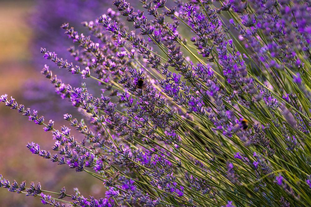 Photo in Random #provencal #provence #france #lavender #floral #flowers #bloom #closeup #nikon