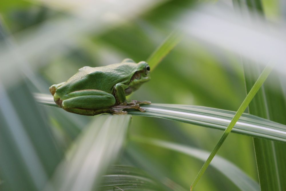 Photo in Nature #frog #rain #reeds #nature #green