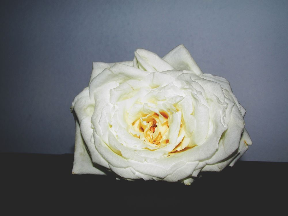 Photo in Nature #whiterose