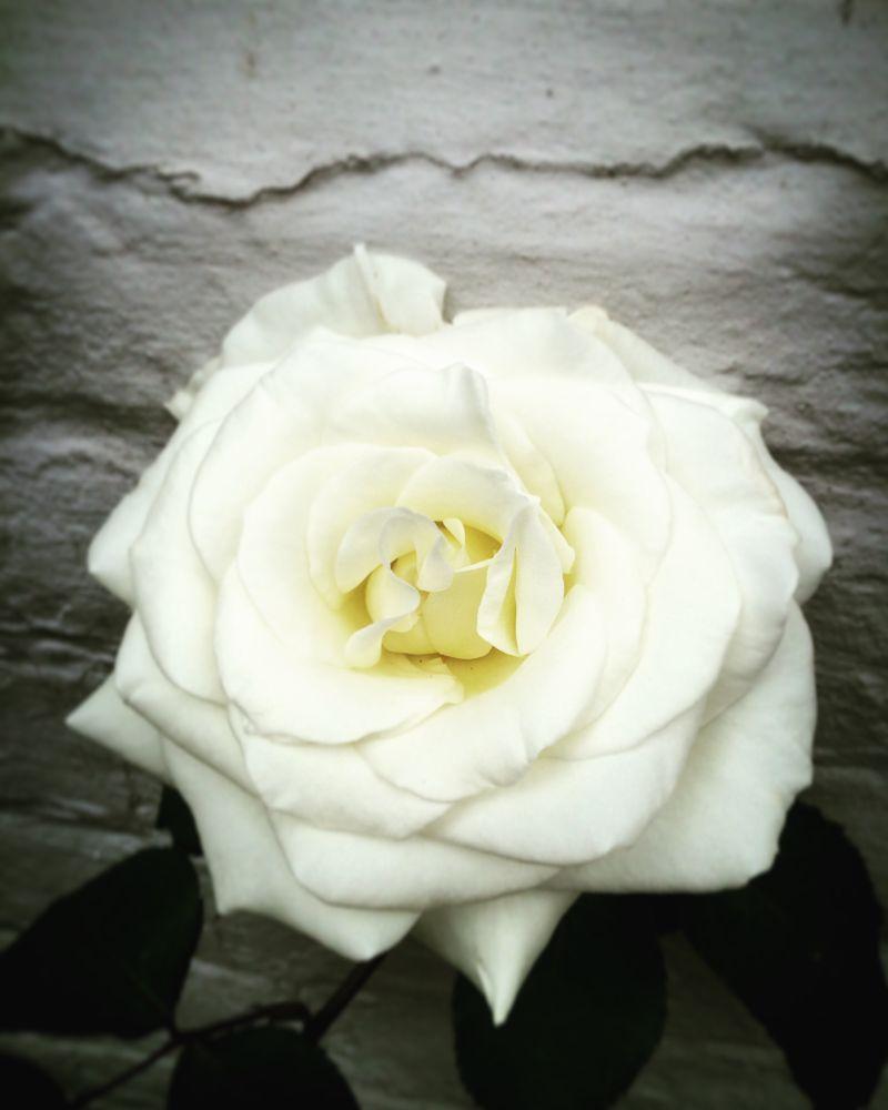 Photo in Random #rose #rye #white #flower #east sussex #mermaid street