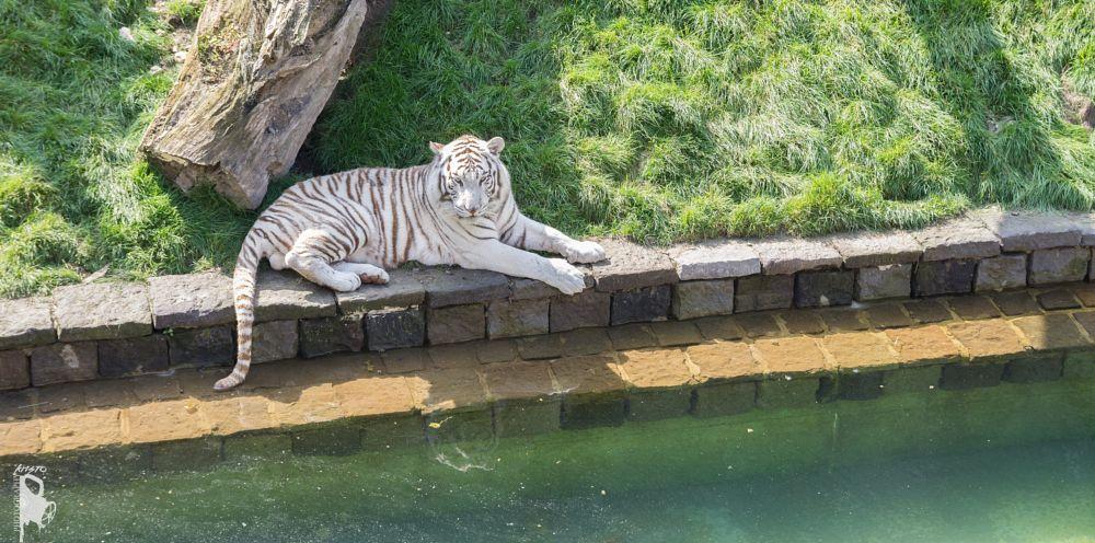 Photo in Animal #pairi daiza #white tiger #tigre blanc