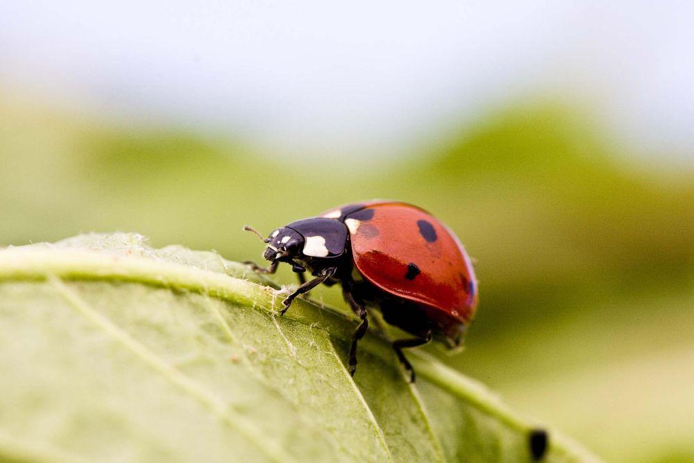 Photo in Macro #ladybug #hill #big #green #macro #canon #macro shoot