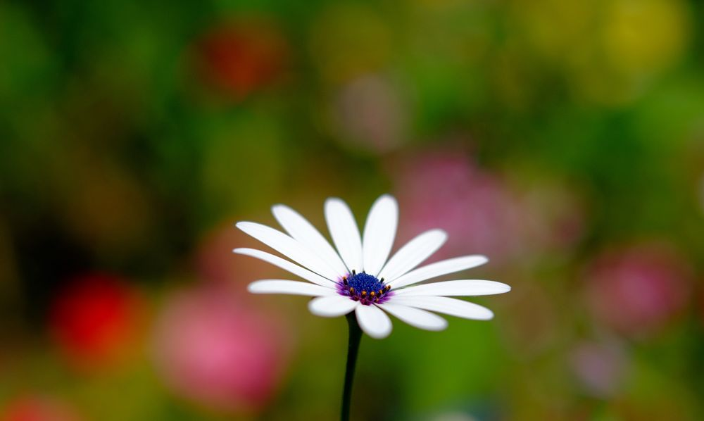 Photo in Nature #bokeh #flower #colors #wallpaper #white #blue