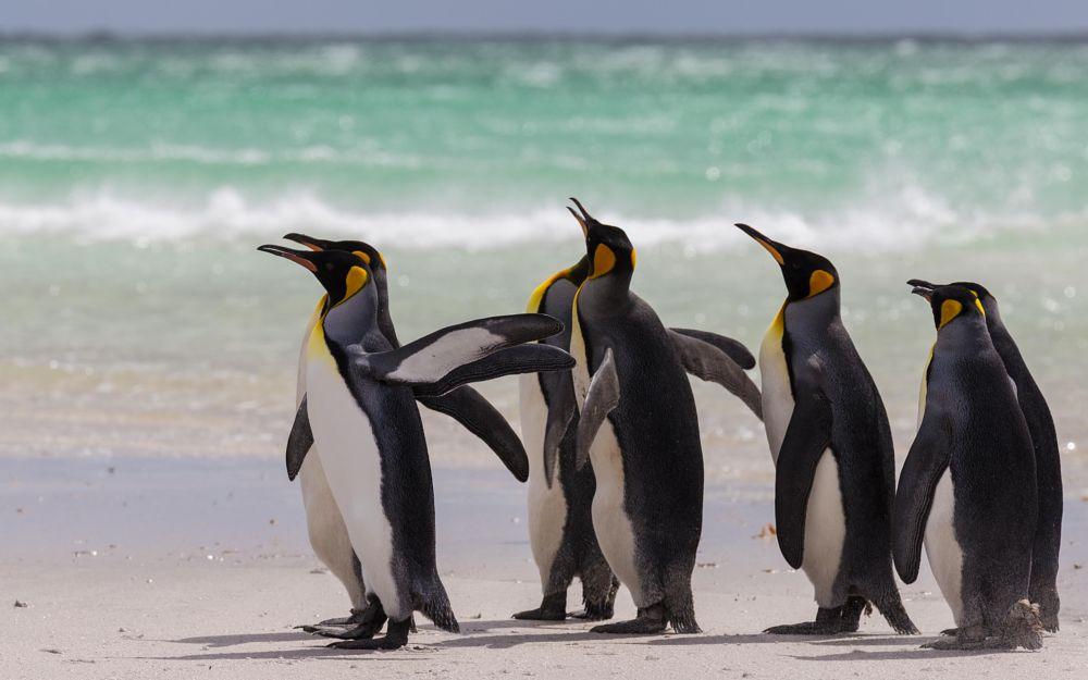 Photo in Animal #penguin #king penguins #falklands #falkland islands #wildlife #travel #animal #bird