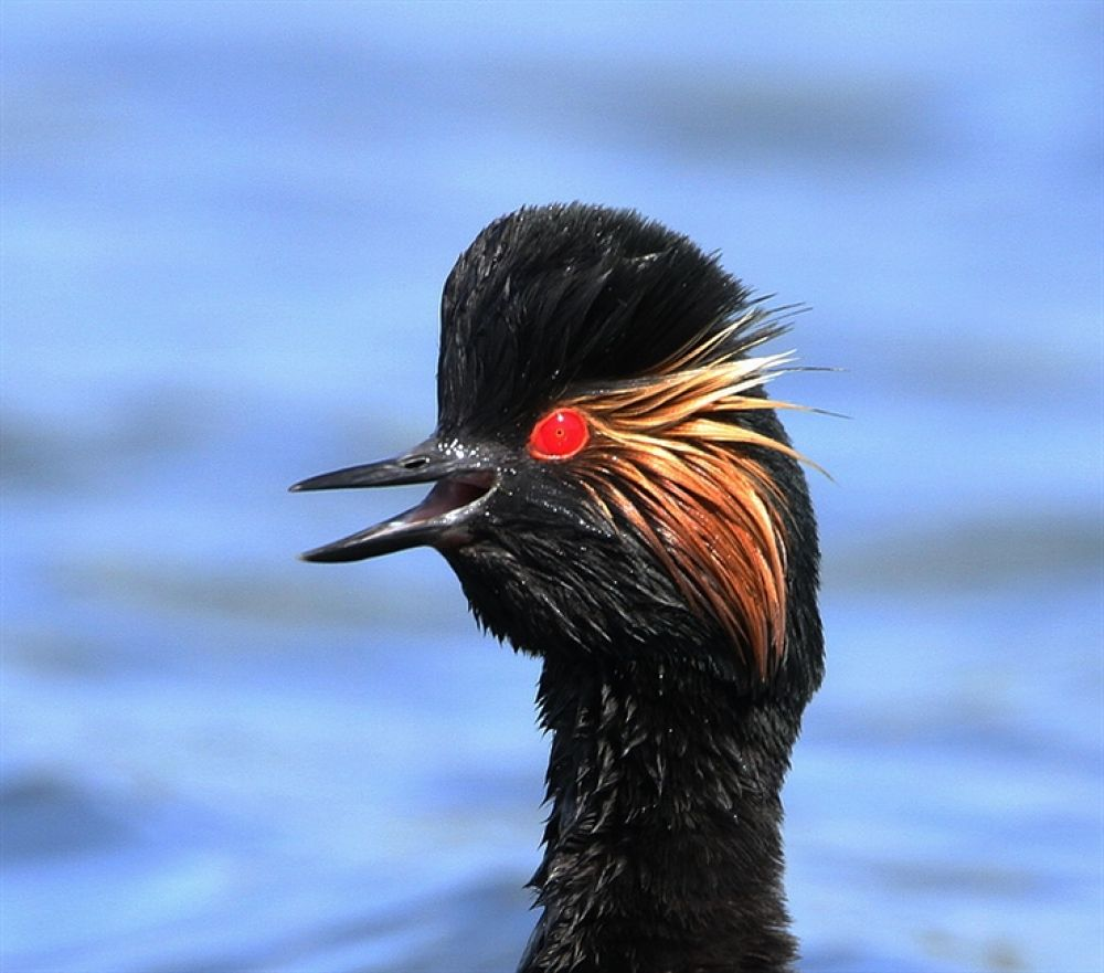 Photo in Random #black #necked #grebe