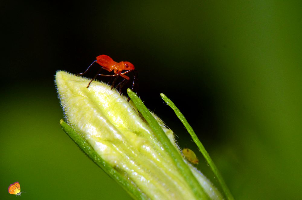 Photo in Macro #cotton #bug #tiny #red #plant #nature