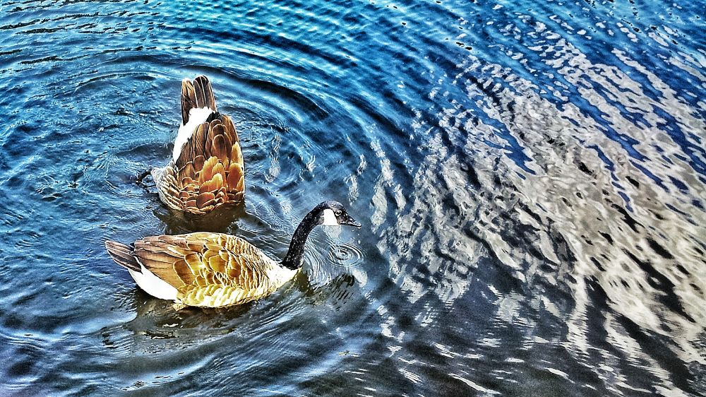 Photo in Random #water #ducks #pond #england