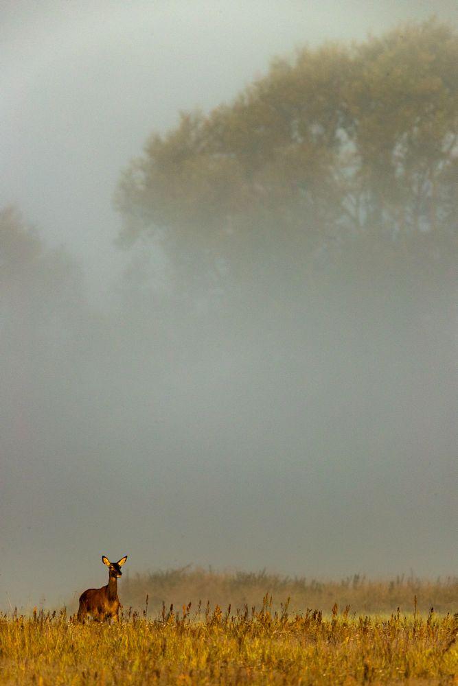 Photo in Nature #red deer #deer #wildlife #autumn #mist #canon