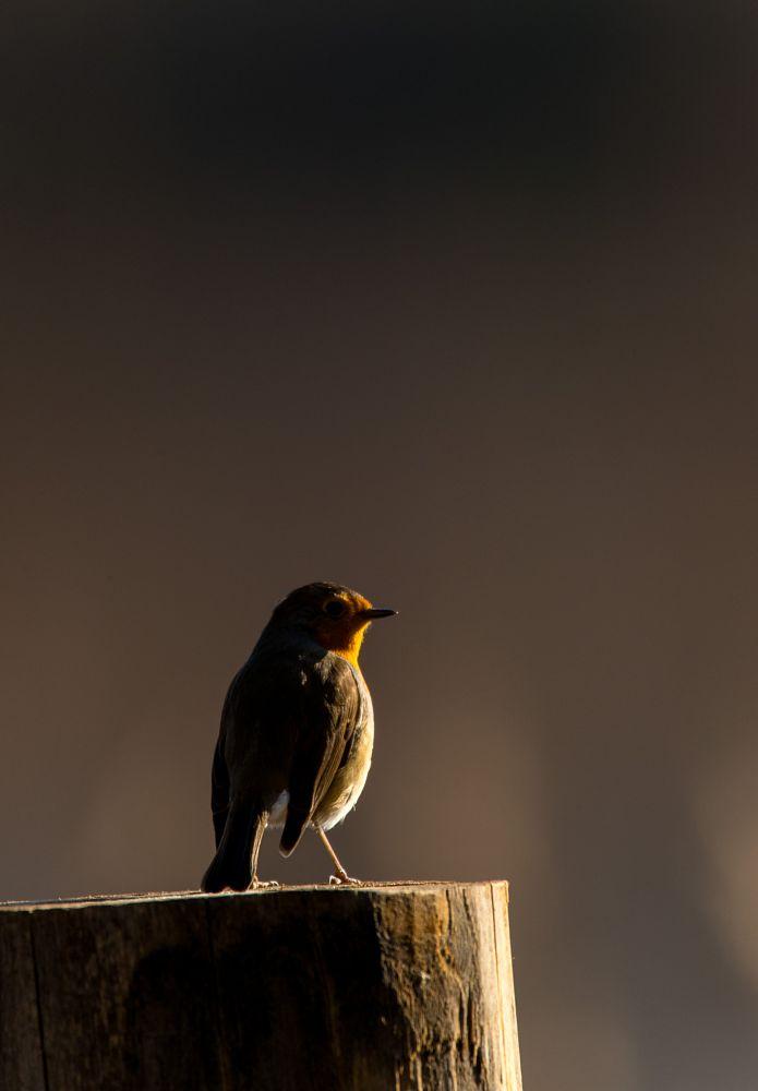 Photo in Nature #robin #bird #perched #canon