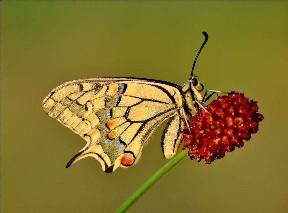 Photo in Nature #butterfly #nice #beauty #macro #nature #holland #animale #red #1 #2 #3 #bleu #flower