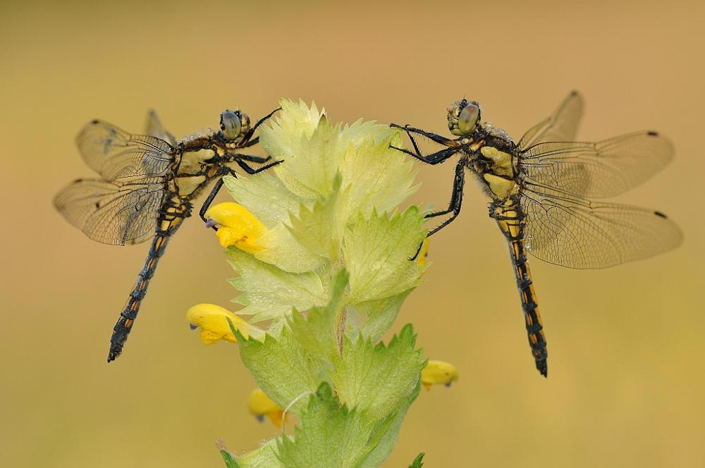 Photo in Nature #dragonfly #animale #nature