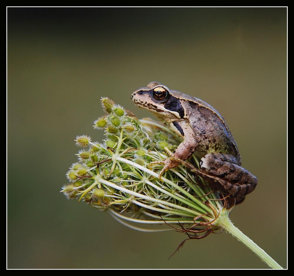 Photo in Macro #frog #macro #nature