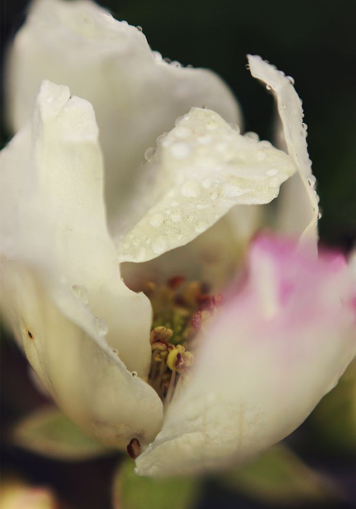 Photo in Nature #flower #water #drip #drop #waterdrop #raindrop #blackberry #spring #bloom #nature #macro #close up #white