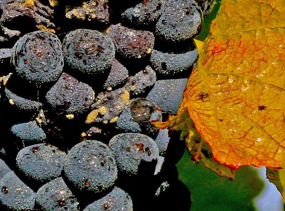 Photo in Macro #macro #weintrauben #herbst