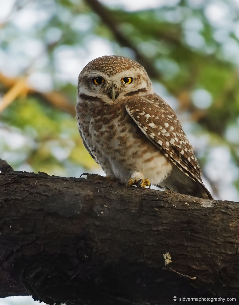 Photo in Random #owls #bird photography #indian birds #birds of india #sidvermaphotography.com #sid verma photography #indian subcontinent birds #nikon d7000 photos #sigma 50-500mm photos #wildlife in india #birds on a tree #small birds #funny birds #spotted owlet #nocturnal birds #owlets #owl on a tree #yellow eyed owls #cute birds #small owls #bird wall papers #bird photos #funny bird photos #crazy bird photos #sweet bird photos #insect eating owls #insect eating birds. #owl habitat #wildlife photos