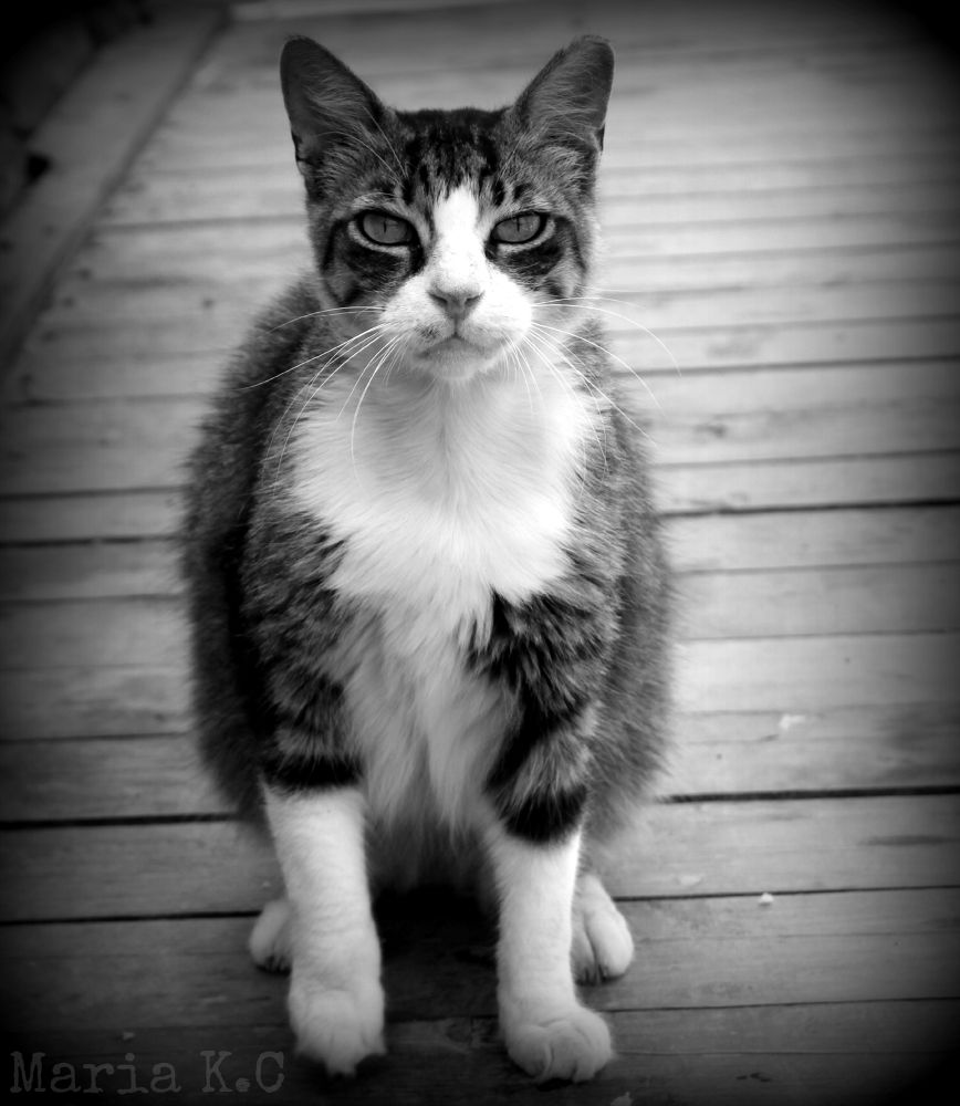 Photo in Animal #summer #2013 #cyprus #cat #b&w