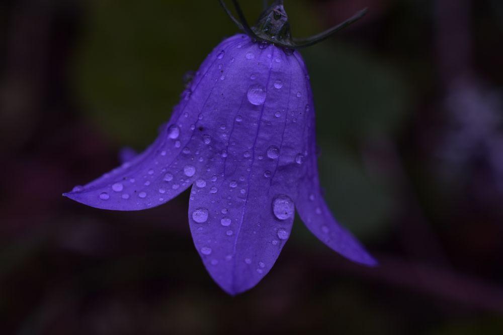 Photo in Macro #macro #bluebell #nikon #flower