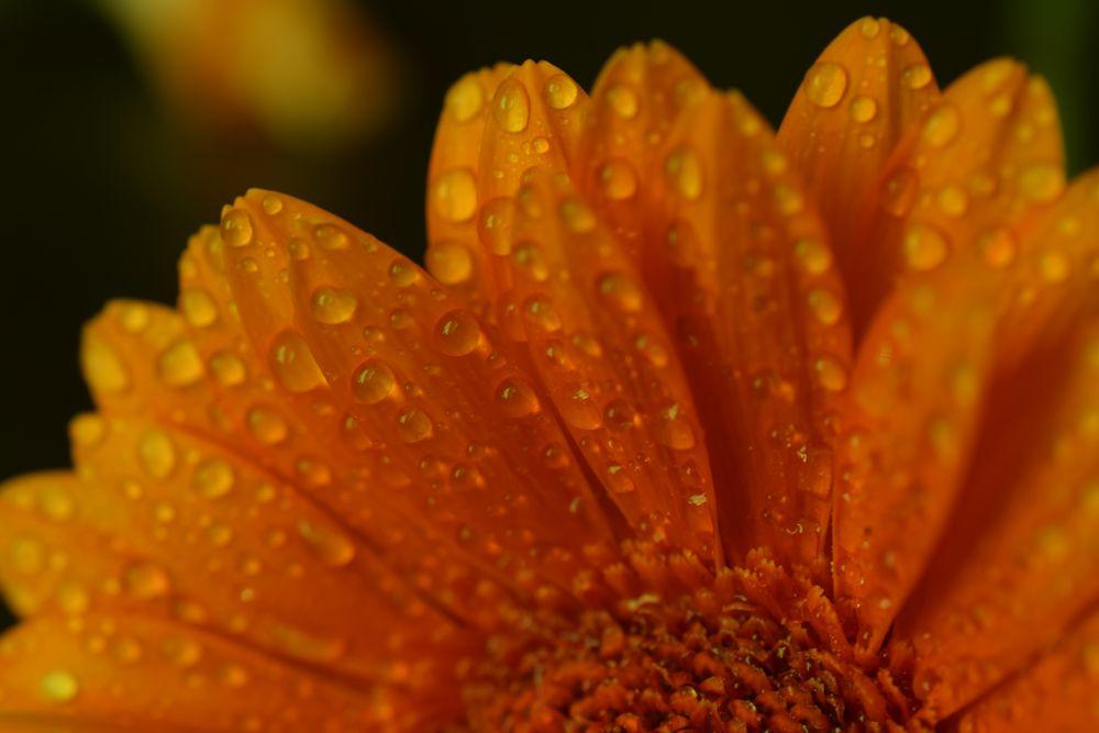Photo in Macro #macro #nikon #droplets #flower