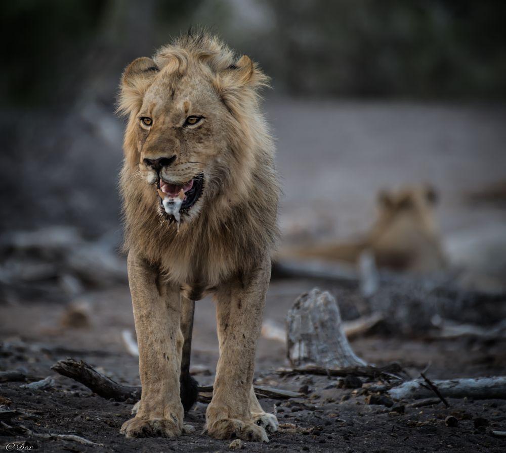 Photo in Animal #lion #africa #botswana #savannah #wildlife #endangered