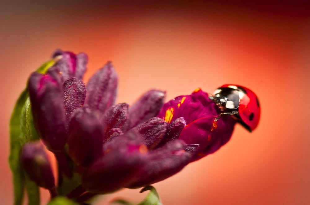 Photo in Macro #nature #macro #ladybug #coccinelle