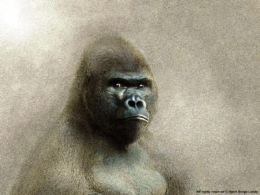 Photo in Fine Art #gorilla #monkey #wild animal #wildlife #wilderness #nature