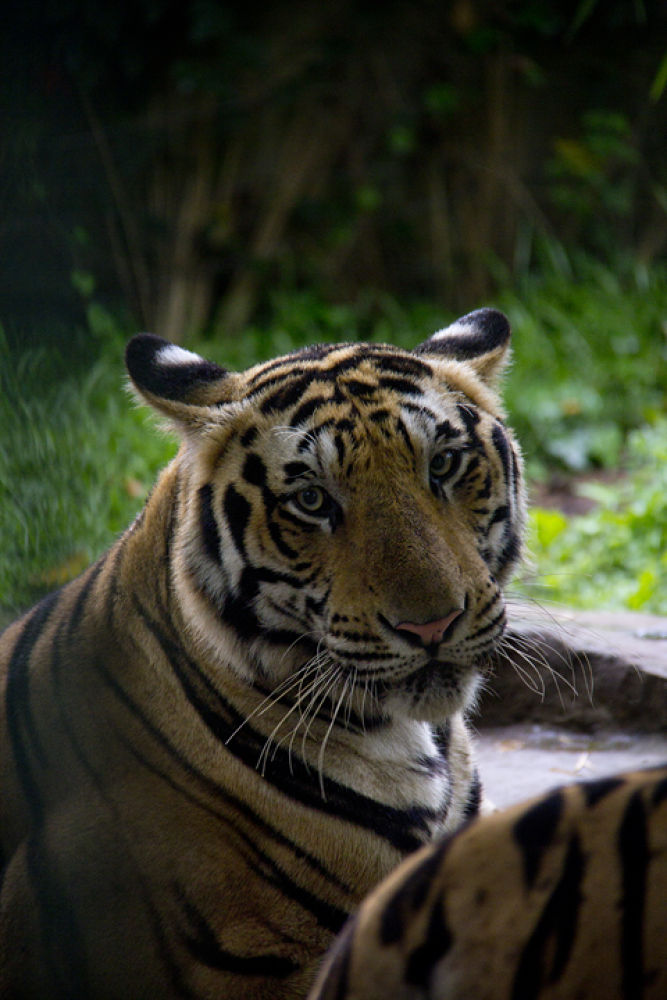 Photo in Animal #animal #the tigers