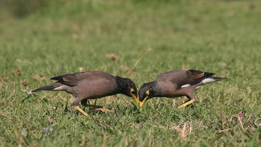 Photo in Animal #maina #birds #tel-aviv #shimon aluf