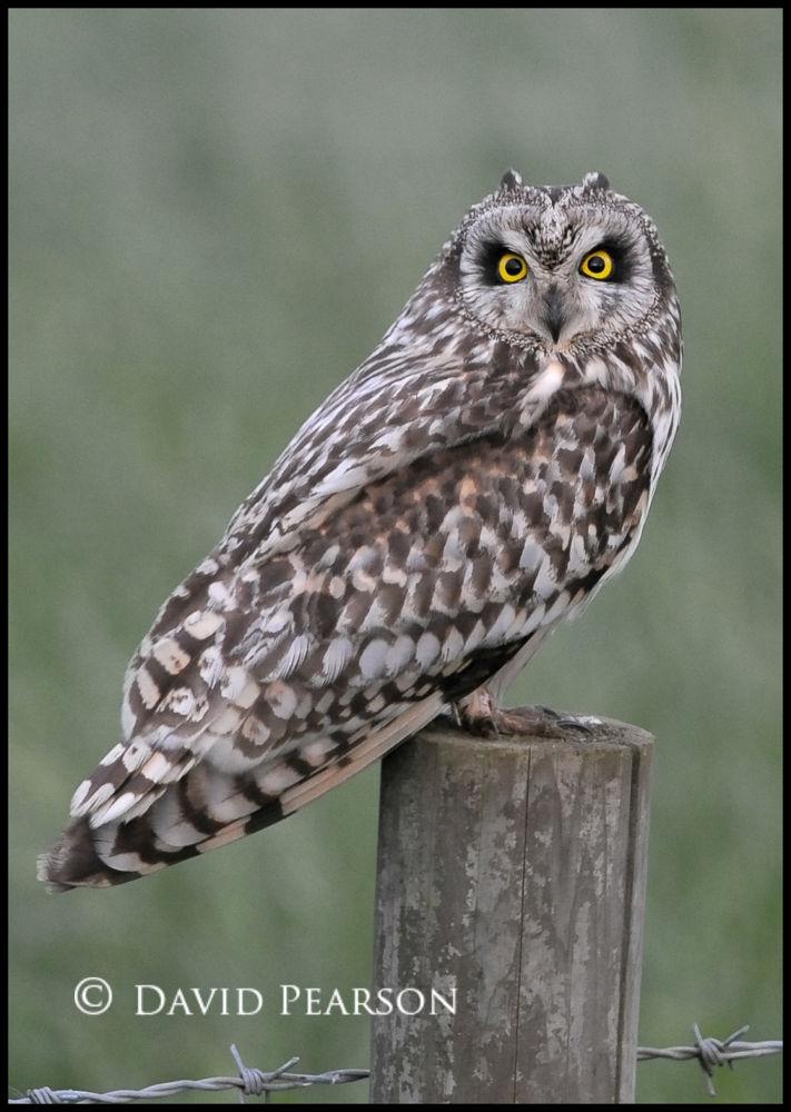 Photo in Nature #wild #owl #female #riverside #short eared