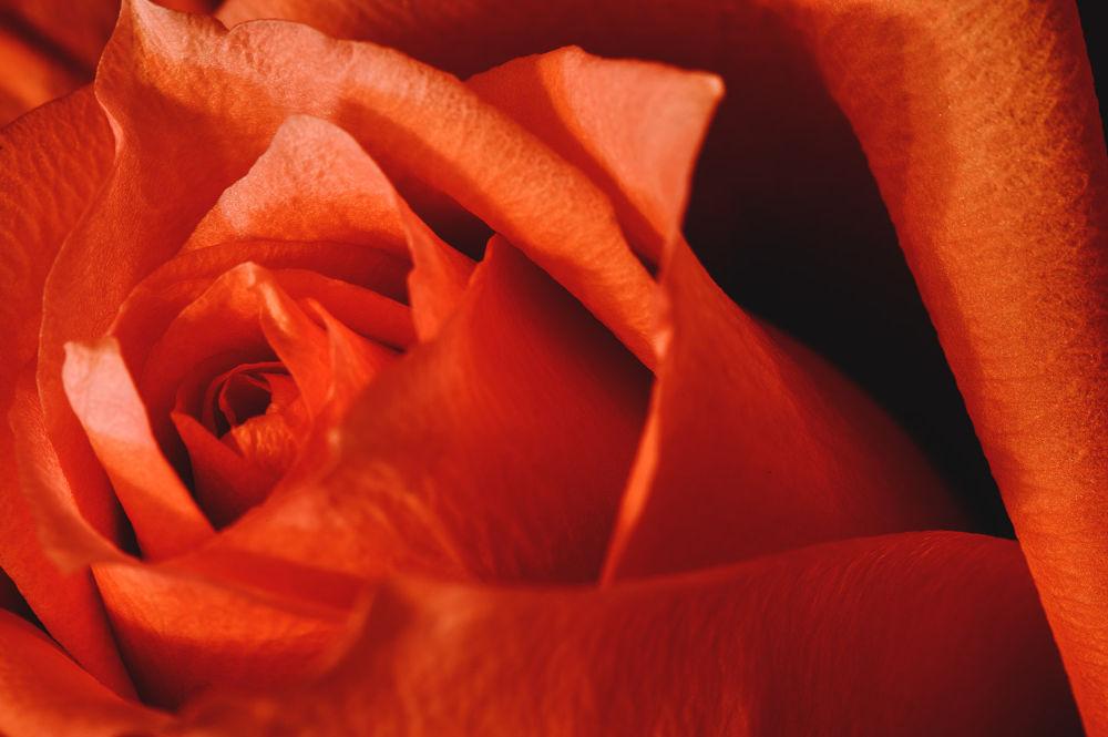 Photo in Nature #nikon #flower #nature #rose