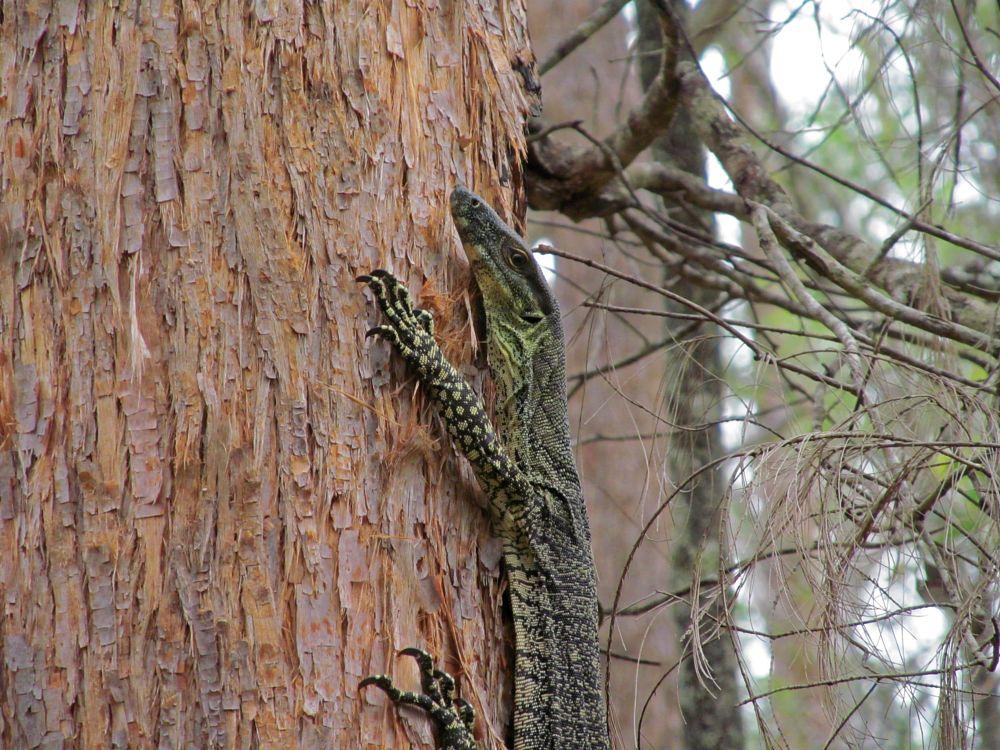 Photo in Animal #goanna #brisbane #queensland #australia