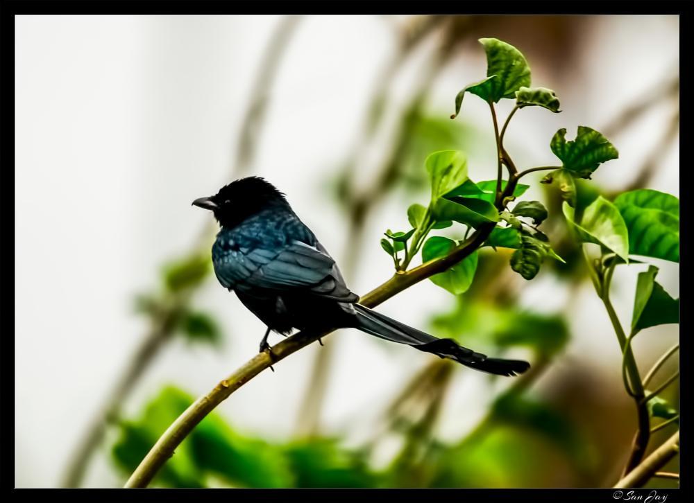 Photo in Animal #drongo #black_drongo #bird #birds