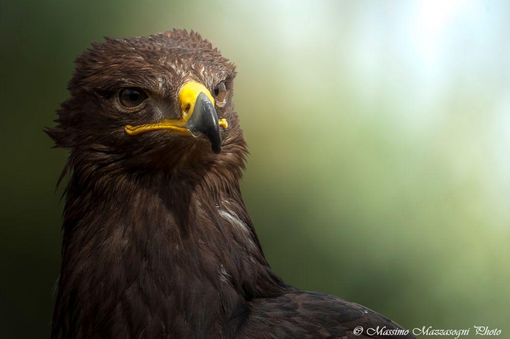 Photo in Animal #aquila #eagle #becco #natura #rapace #mazzasogni