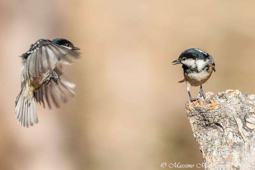 Photo in Animal #cincia #uccello #bird #natura #nature #engadina #mazzasogni