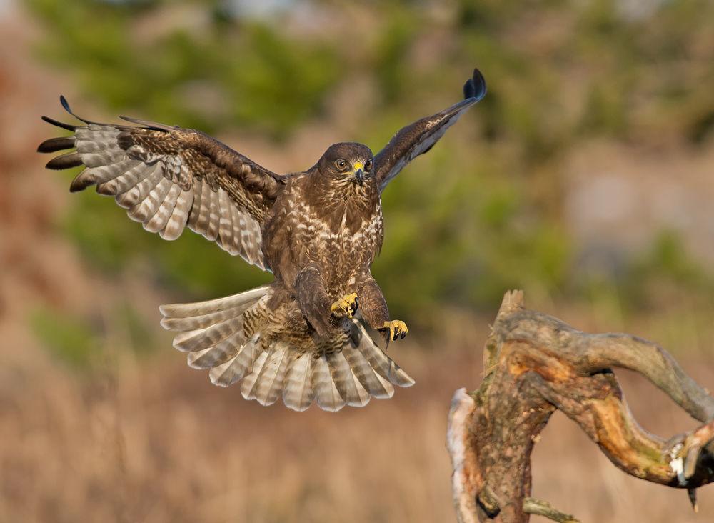 Photo in Random #norway #buzzard