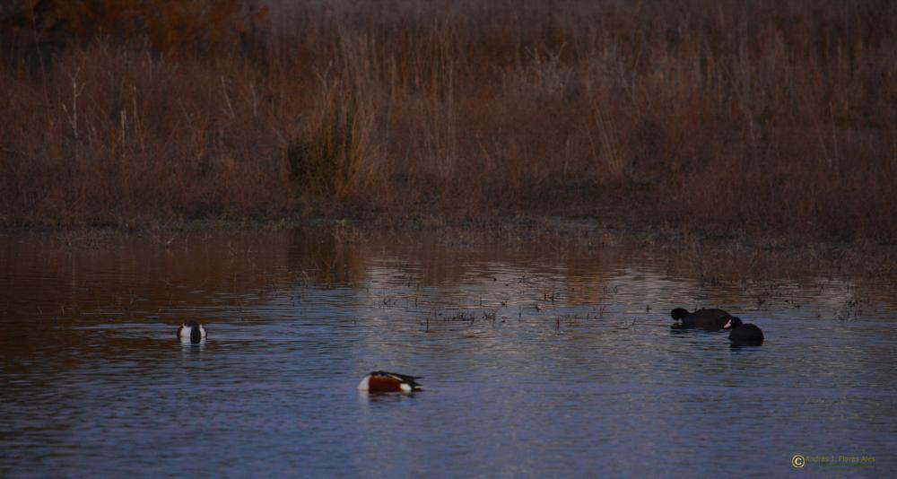 Photo in Animal #cuchara común #focha común #patos #anatidas #aves #pajaros #animales