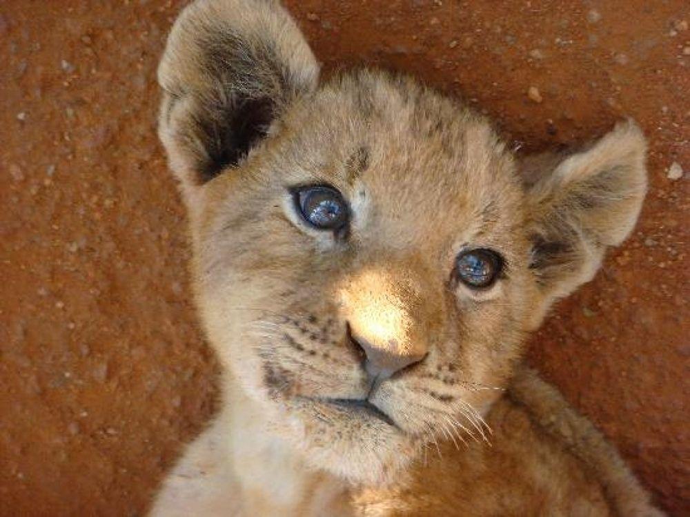 Photo in Random #lion #baby
