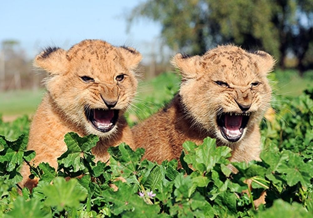 Photo in Random #lion
