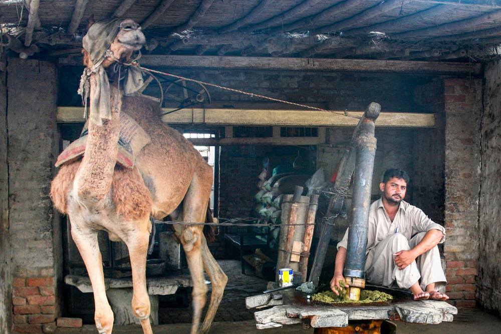 Photo in People #esame seed grinder #camel #sesame #seed grinder #a camel being used to run a se