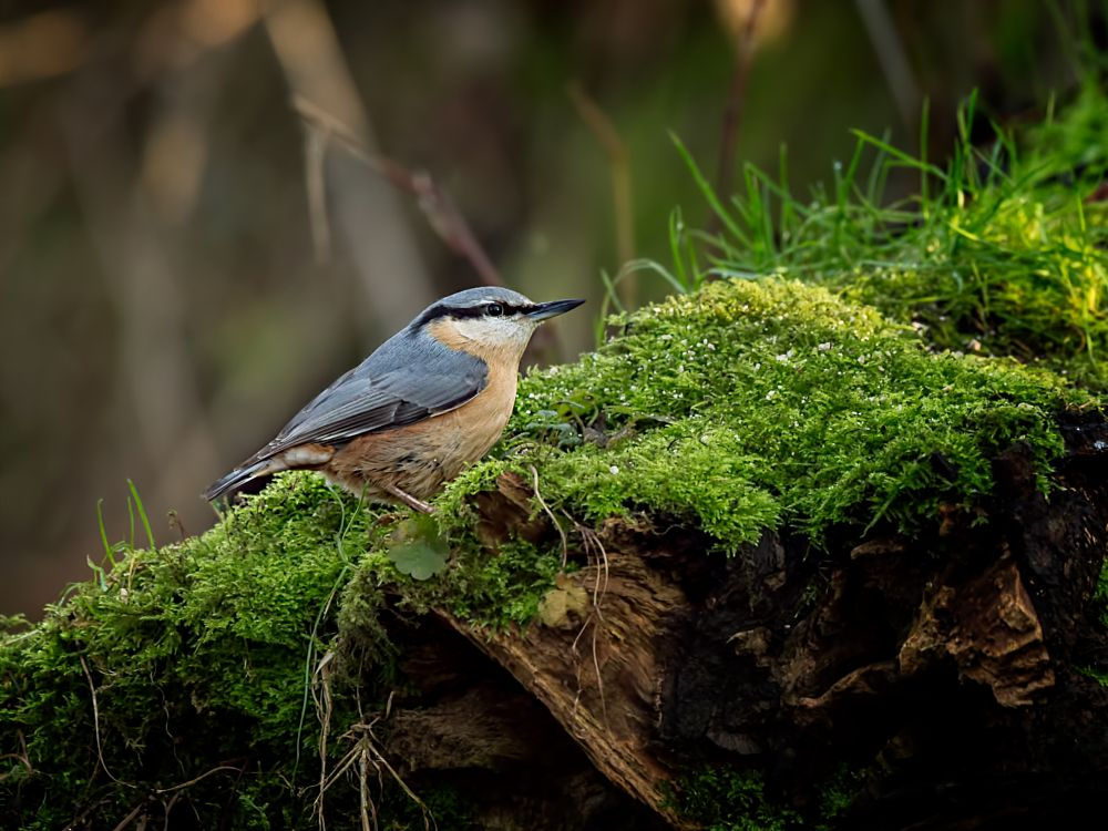 Photo in Nature #nuthatch #birds #nature #wildlife