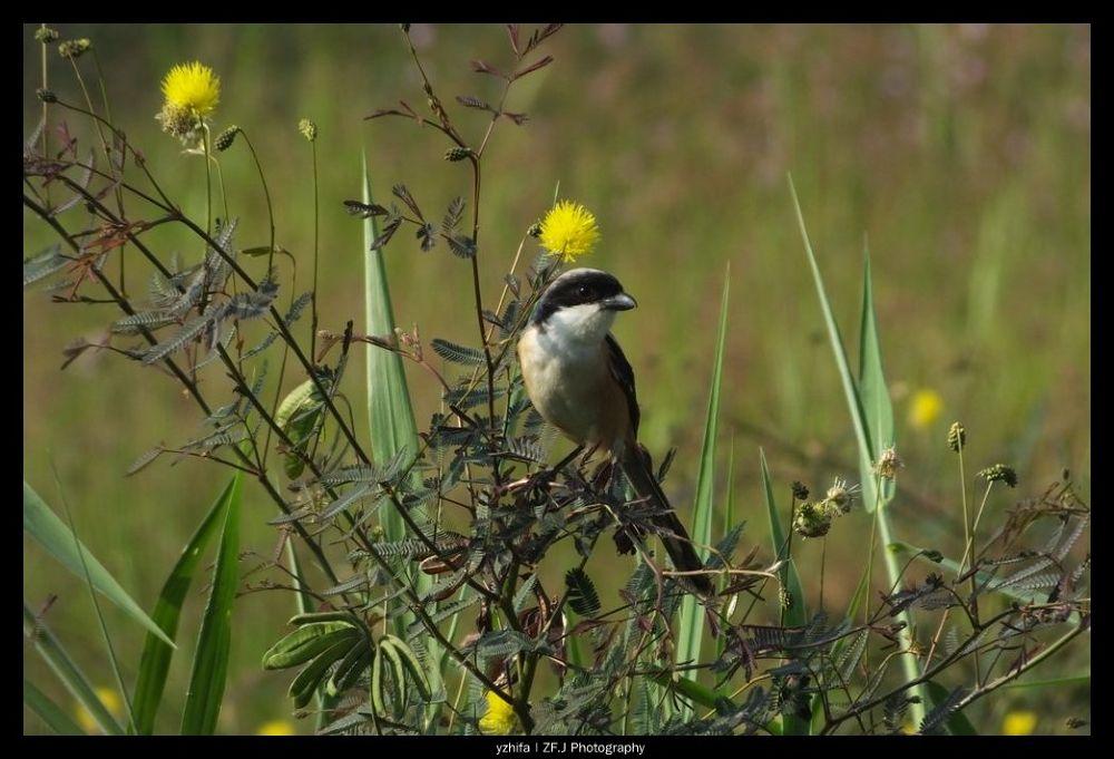 Photo in Random #shrike #birds #zfjphotography #zfaviary