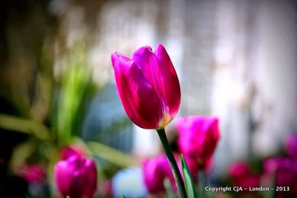 Photo in Nature #flower #tulip