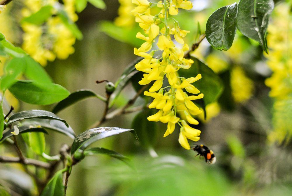 Photo in Nature #bee yellow laburnum flower