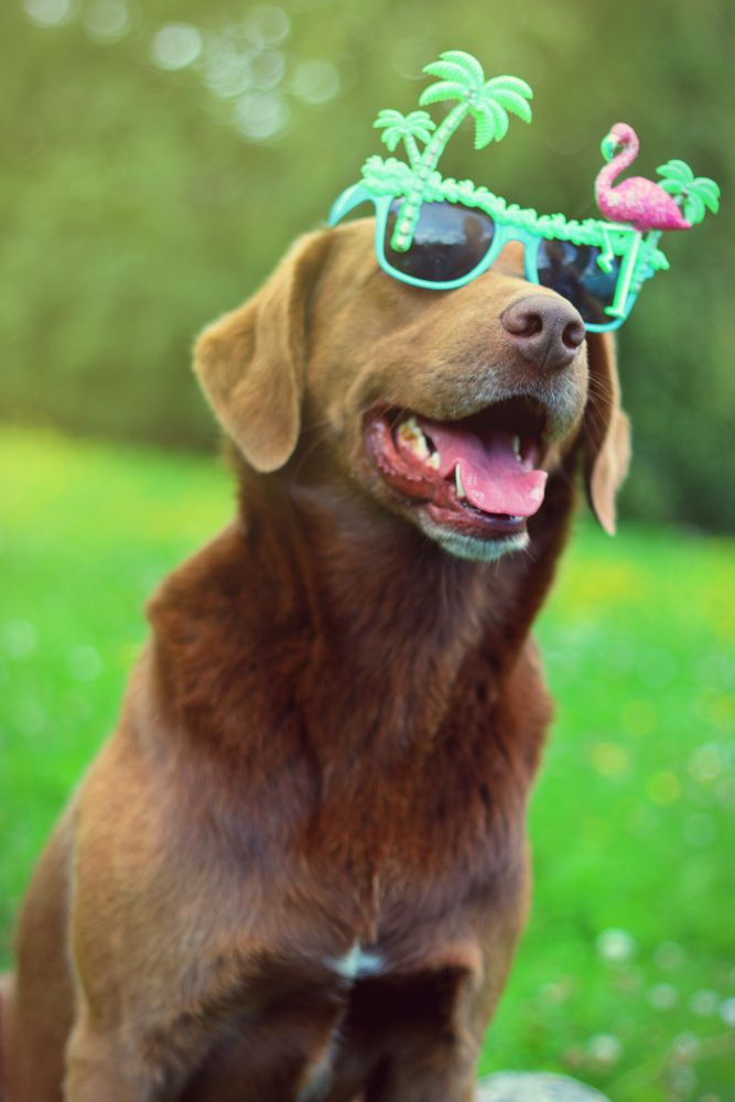 Photo in Animal #dog #chien #sunglasses #lunettes #summer #été #swag