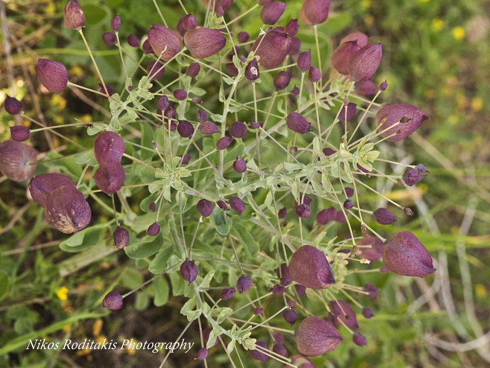 Photo in Nature #cretan flora #wild plants of crete #greek flora #wild plants of europe #leontice leontopetalum #berberidaceae #lion foot-print #olympus e-pm1 #m.zuiko 60mm f/2.8