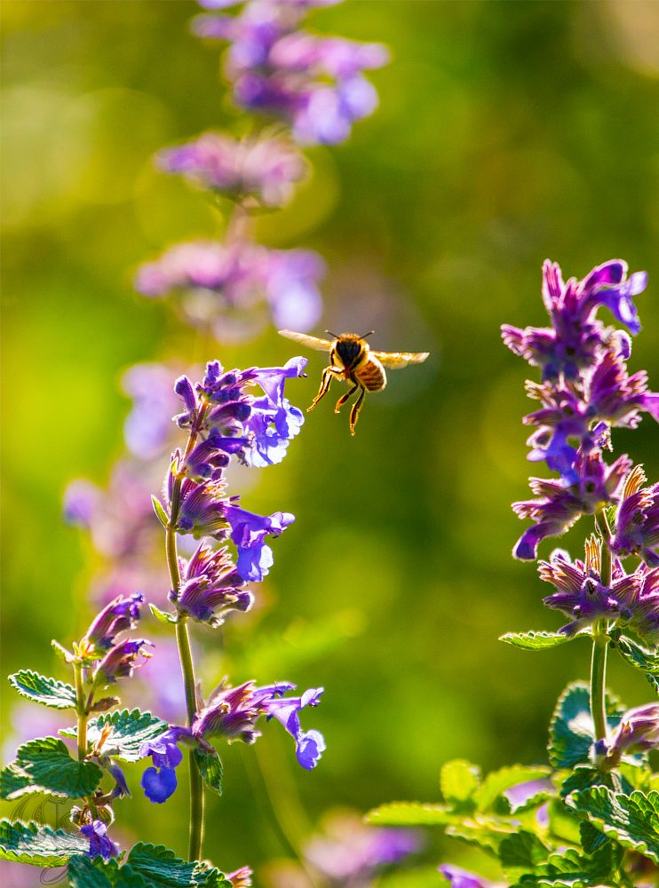 Photo in Nature #bee #insect #insect photography #nature #flying bee #natural light #nature photography
