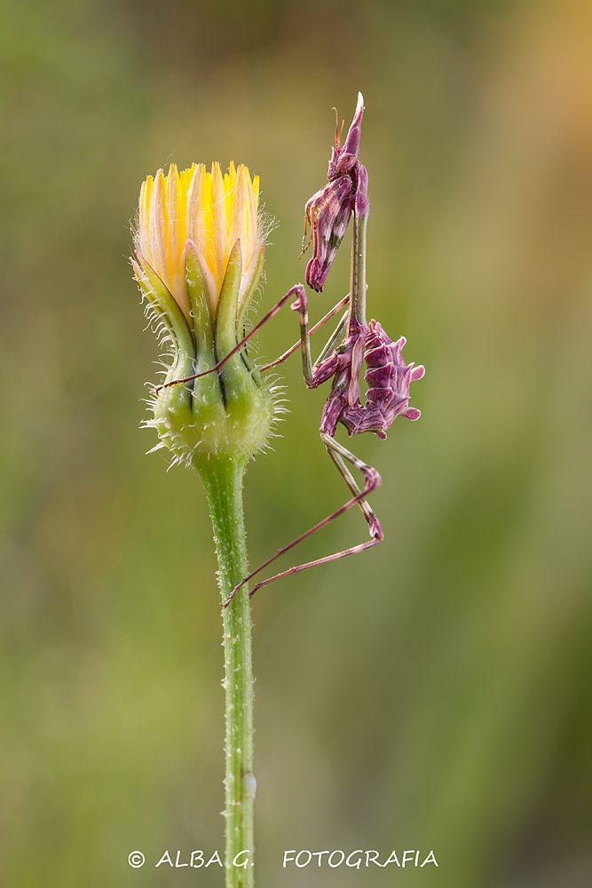 Photo in Macro #insect #mantis #empusa #macro #naturaleza #flor