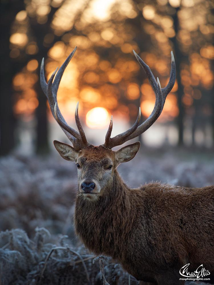 Photo in Animal #dawn #stag #winter_stag #christmas