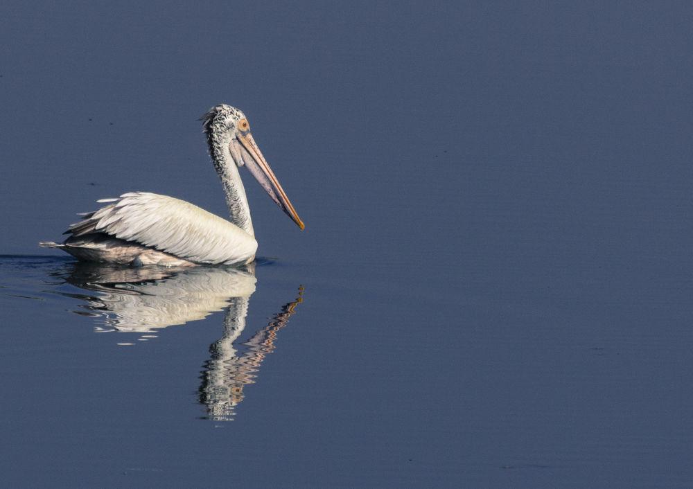 Photo in Animal #bird #pelican