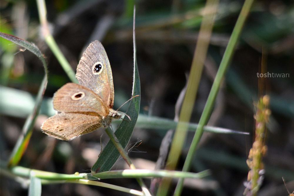 Photo in Animal #the common fourring #ypthima huebneri #satyrinae butterfly